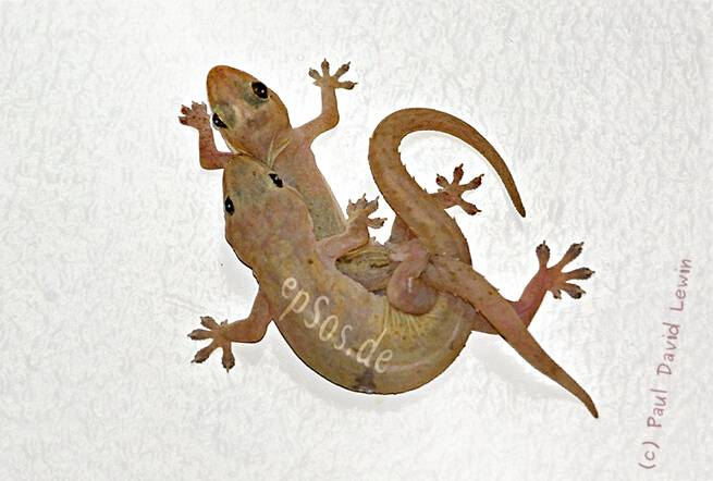 Funny geckos mating on the wall.