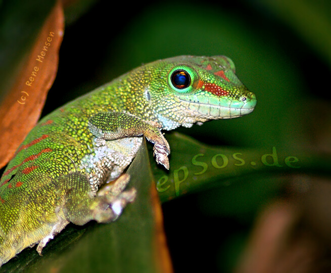 Funny green gecko smiling.