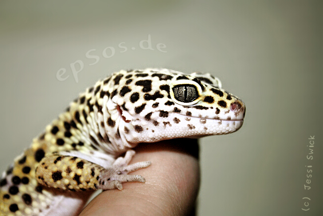 Happy leopard gecko with lizard smile.