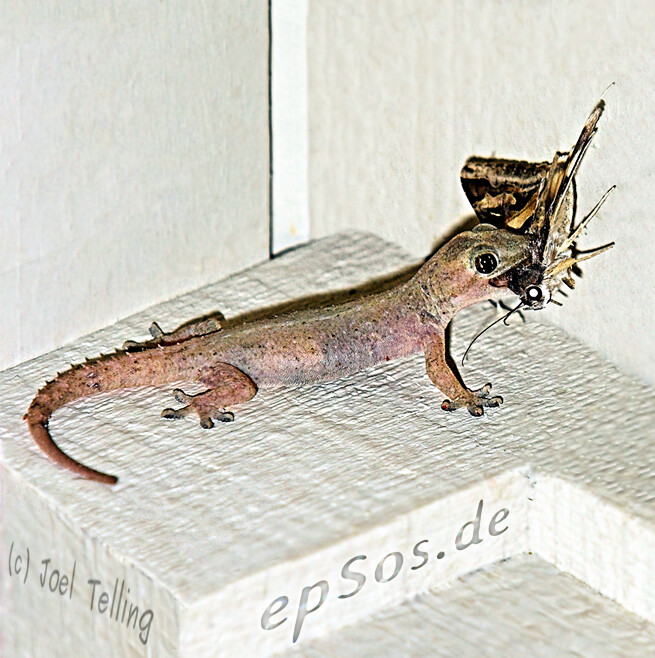 Reptile gecko eating moth food.